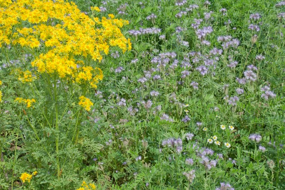 Ragwort and Phacelia