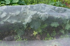 Calabrese covered but still the pesky little slugs and snails slide in.