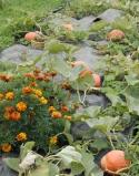 Marigold and pumpkin